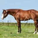 photo of quarter horse stallion